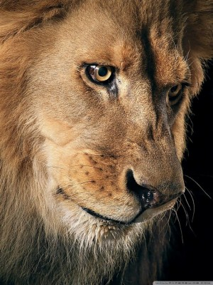 Ultra Hd Lion 4k 768x1024 Wallpaper Teahub Io