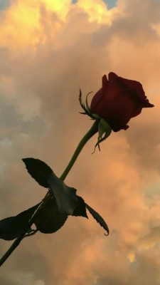 115 1155446 roses bitches broken hearts