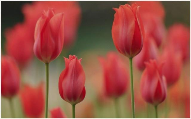 Tulip Flower With Black Background 1280x857 Wallpaper Teahub Io