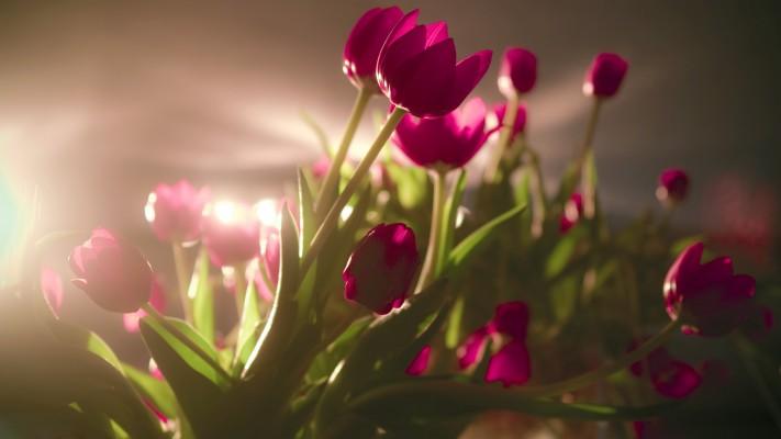 Tulip Flower On Black Background 1920x1200 Wallpaper Teahub Io