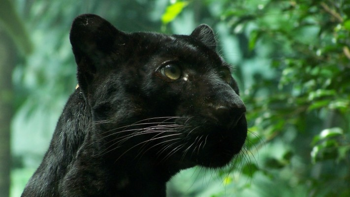 Black Panther Animal Desktop Wallpaper Black Panther In Leaves 2880x1800 Wallpaper Teahub Io