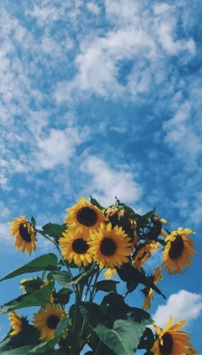 Aesthetic Sunflower Background 1200x1600 Wallpaper Teahub Io