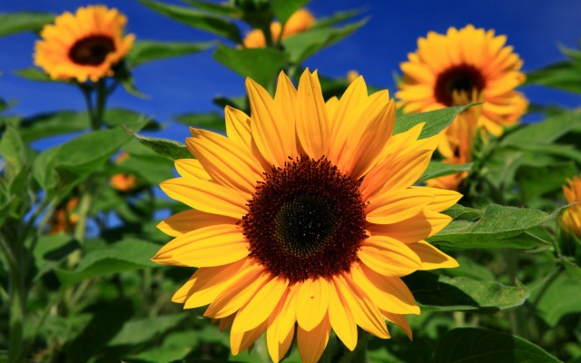 Full Hd High Resolution Sunflower 1920x1200 Wallpaper Teahub Io