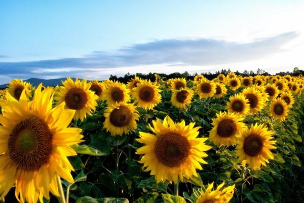 Aesthetic Sunflower 1733x2311 Wallpaper Teahub Io