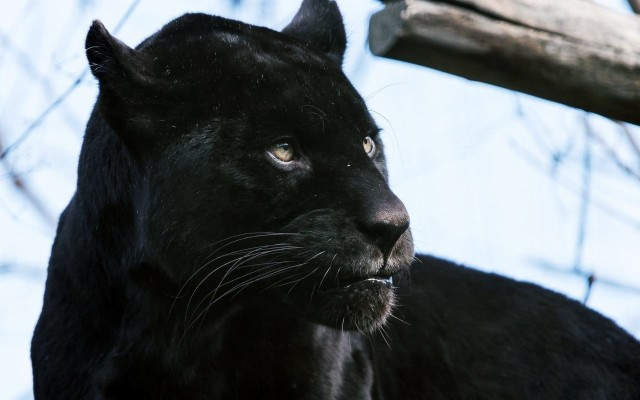 Cat Black Jaguar 1600x1155 Wallpaper Teahub Io