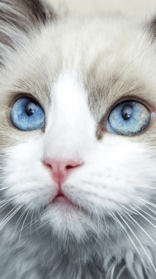 White Cat With Blue Eyes Wallpapers Phone 750x1334 Wallpaper Teahub Io