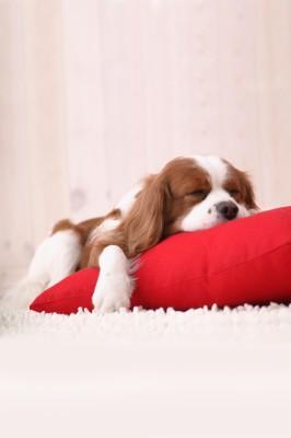 Wallpaper Puppy Dog Sleeping Cute Puppy 800x1420 Wallpaper Teahub Io