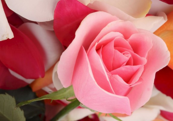 23 233354 gambar bunga mawar cantik mawar merah wallpaper bergerak