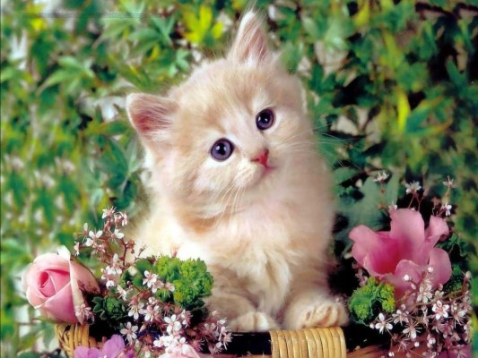 Chat Picture White Baby Cute Cat 1024x768 Wallpaper Teahub Io