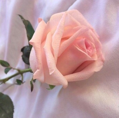 282 2820770 grudge rose wallpaper white and pink rose aesthetic