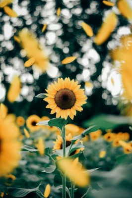 Aesthetic Sunflower Background 1200x1600 Wallpaper Teahub Io