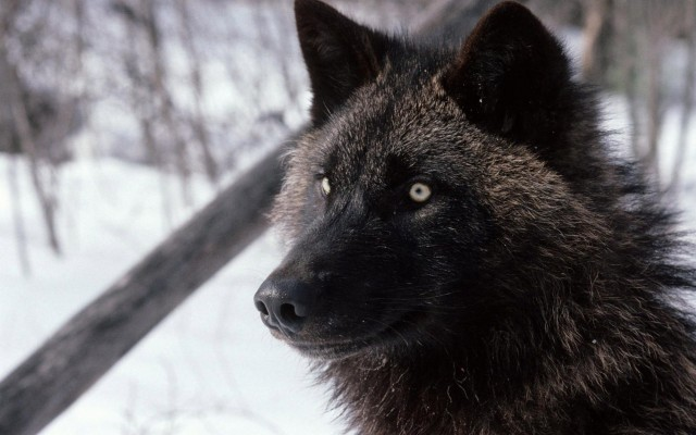 Download Wolf Wallpapers And Backgrounds Page 3 Teahub Io