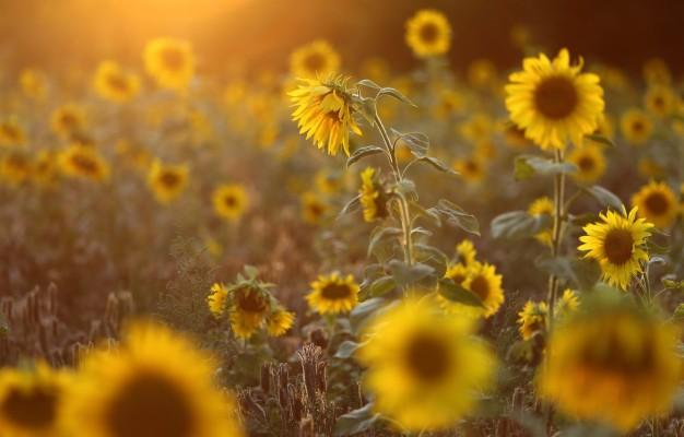 Sunflower Field 1920x1080 Wallpaper Teahub Io