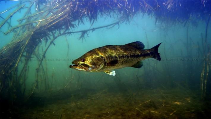 6x5k87b Largemouth Bass Wallpaper Hd Px Bass Fishing Computer Backgrounds 1280x768 Wallpaper Teahub Io