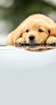 Golden Retriever Puppy Christmas Sleeping 1920x1200 Wallpaper Teahub Io