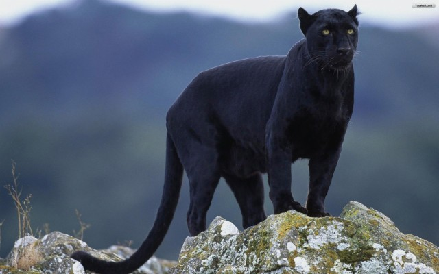 Rare Black Panther Animal 1920x1200 Wallpaper Teahub Io
