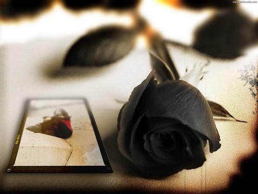 6 68351 black rose postcard black beautiful rose wallpaper hd