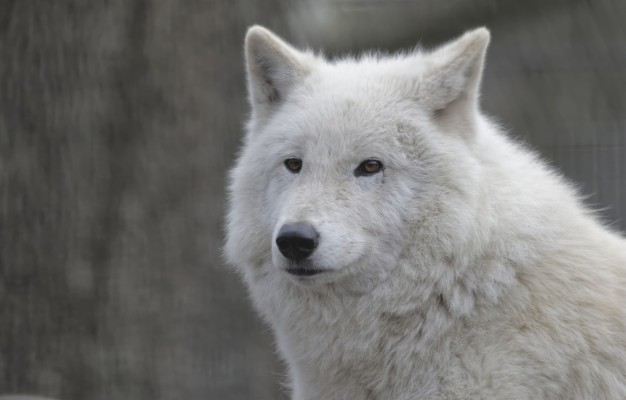 Photo Wallpaper Face Wolf Portrait White Wolf White Wolf Portrait 1332x850 Wallpaper Teahub Io
