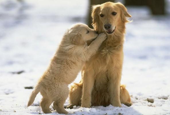 Puppy Love Quotes Meme Image Golden Retriever Cute Puppies 1600x1000 Wallpaper Teahub Io