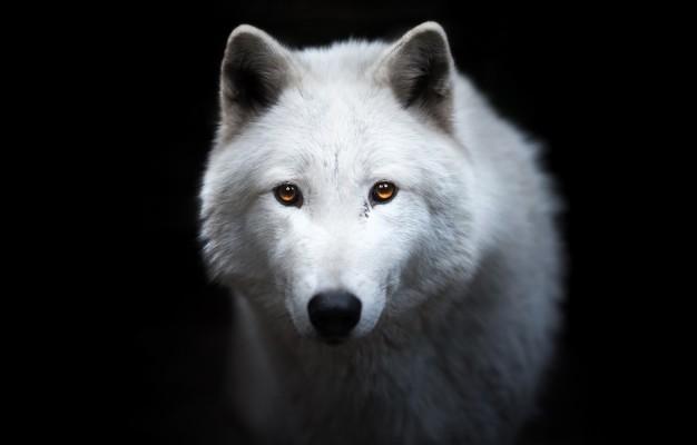Photo Wallpaper White Look Face Wolf Portrait White Wolf Black Background 1332x850 Wallpaper Teahub Io